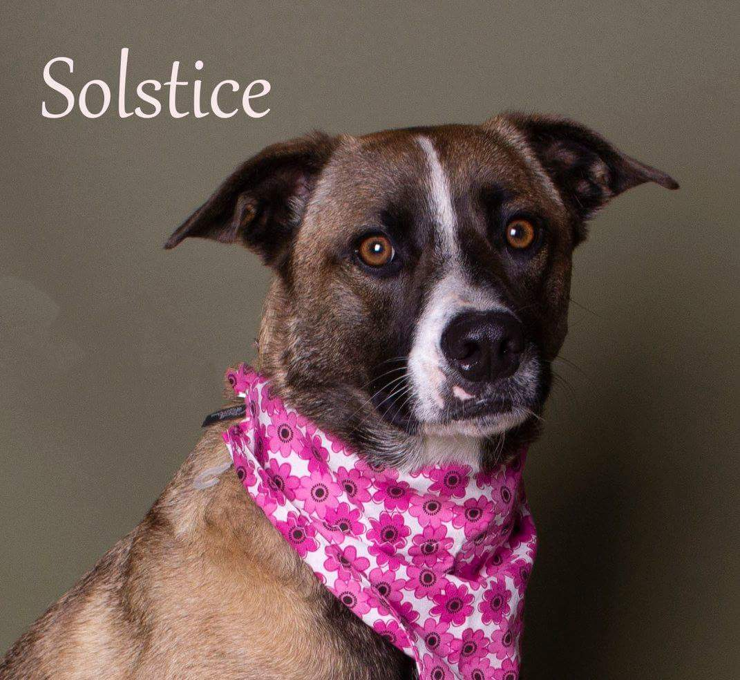 Image: Solstice available dog at Foster Army Animal Rescue
