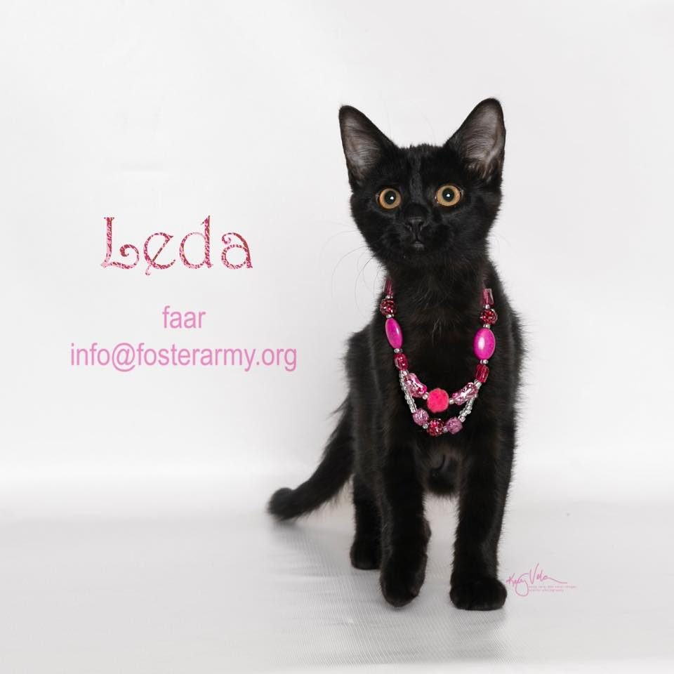 Adopt Leda the cutest kitten with Foster Army Animal Rescue in Riverside, CA