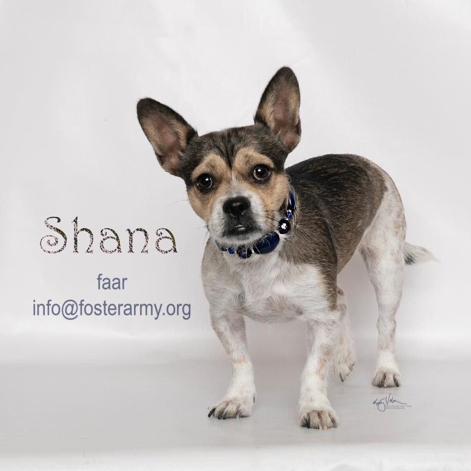 Adopt Shana the worlds luckiest dog with Foster Army Animal Rescue in Riverside, CA