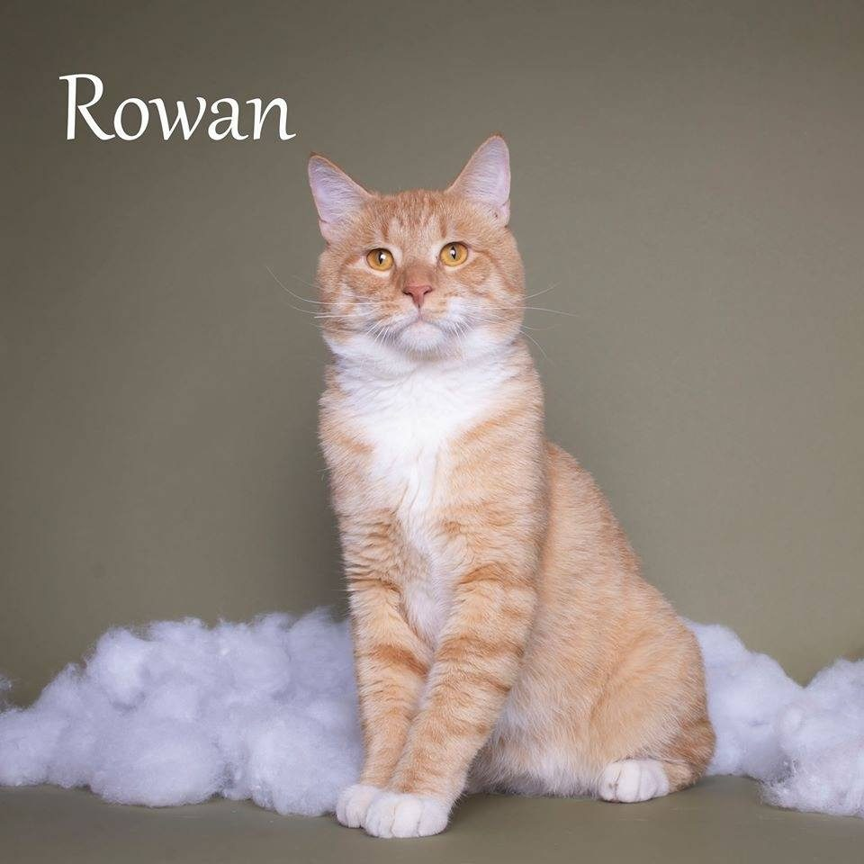 Adopt Rowan the cutest kitten with Foster Army Animal Rescue in Riverside, CA