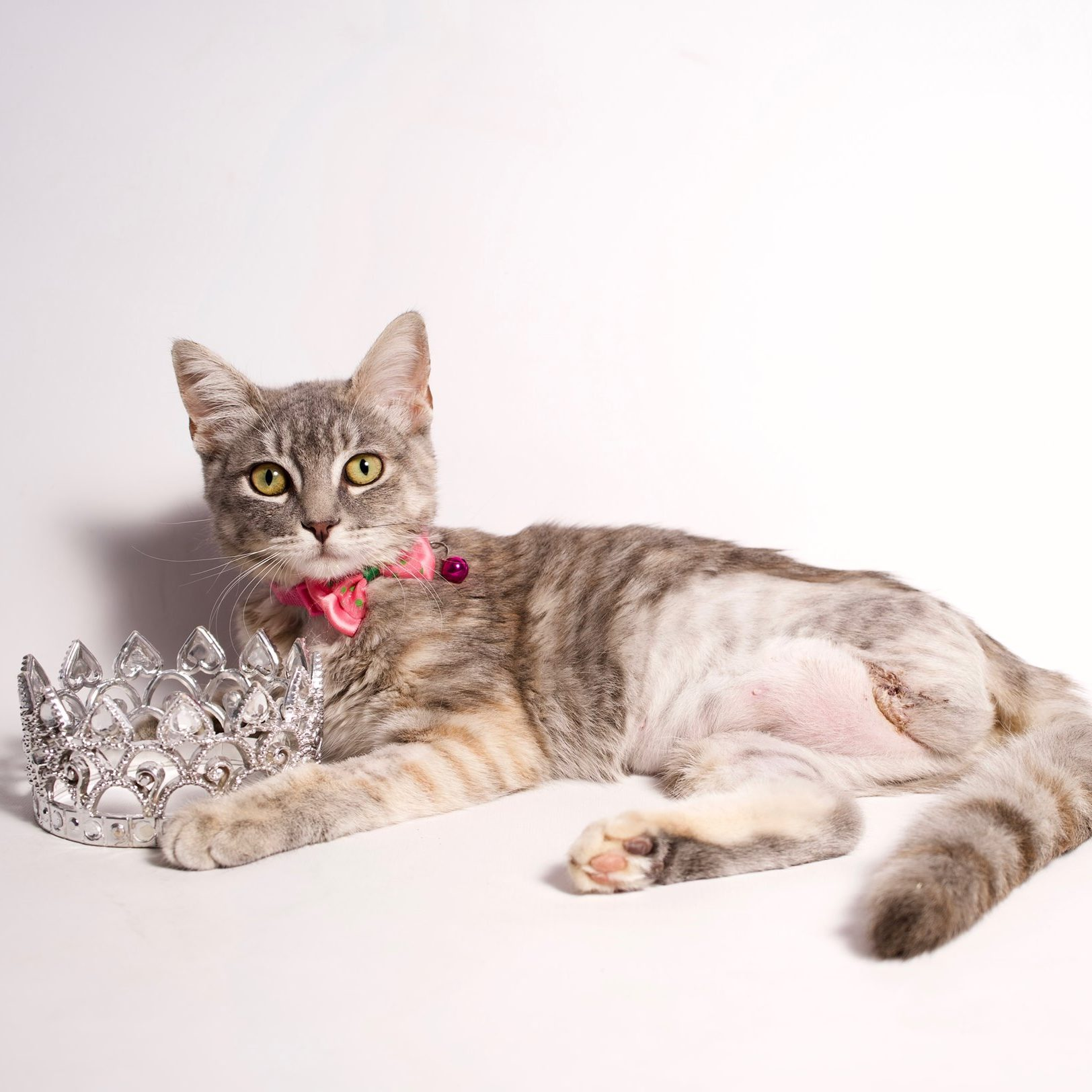 Adopt Glinda Rose the worlds best tripod kitty with Foster Army Animal Rescue in Riverside, CA