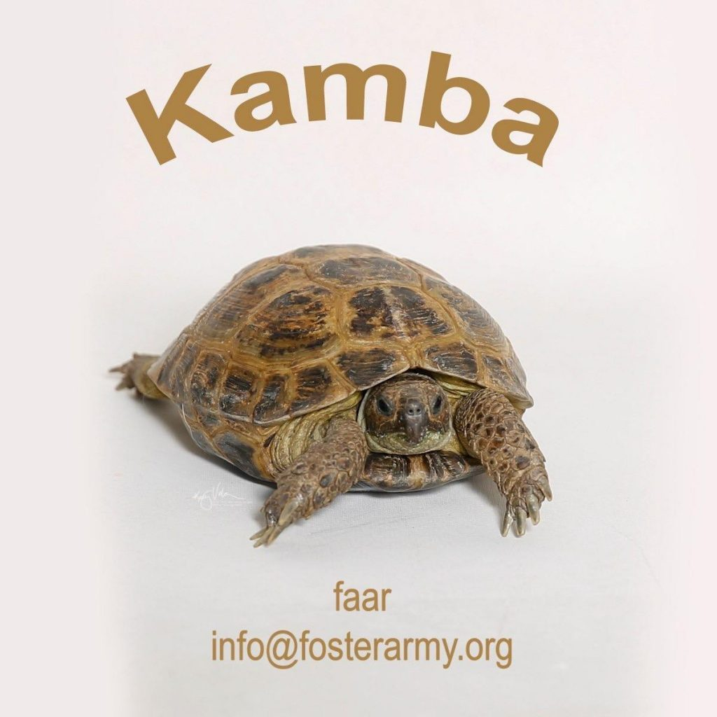 Adopt a cool Tortoise with Foster Army Animal Rescue