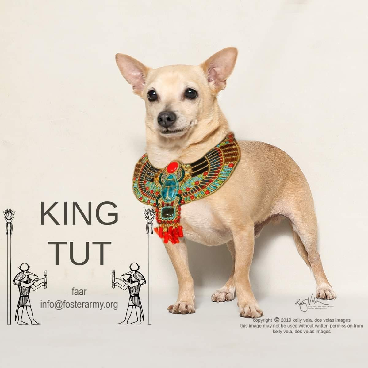 Adopt King Tut the King of Chihuahuas with Foster Army Animal Rescue in Riverside, CA