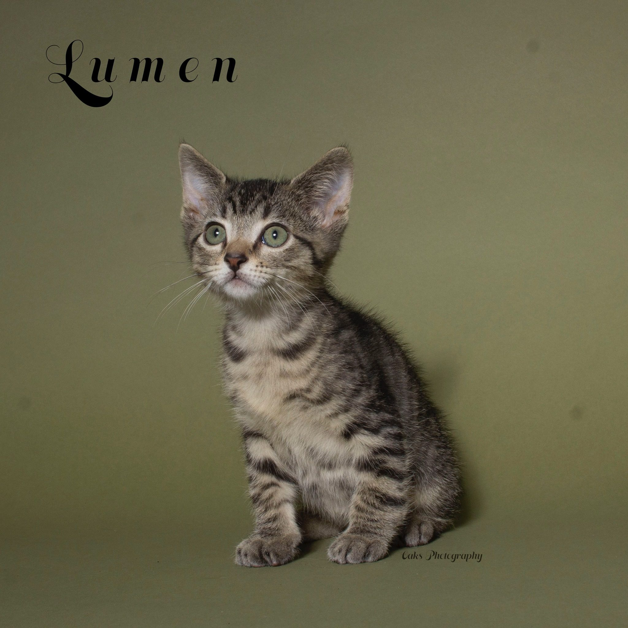 Adopt Lumen the cutest playful kitty with Foster Army Animal Rescue in Riverside, CA