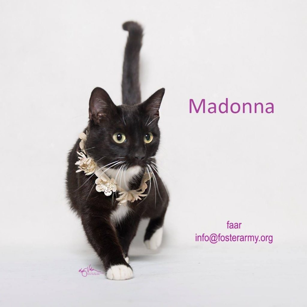 Adopt a material girl and purrfect kitty with Foster Army Animal Rescue