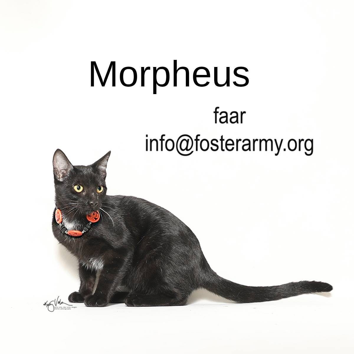 Adopt Morpheus the worlds coolest kitty with Foster Army Animal Rescue in Riverside, CA
