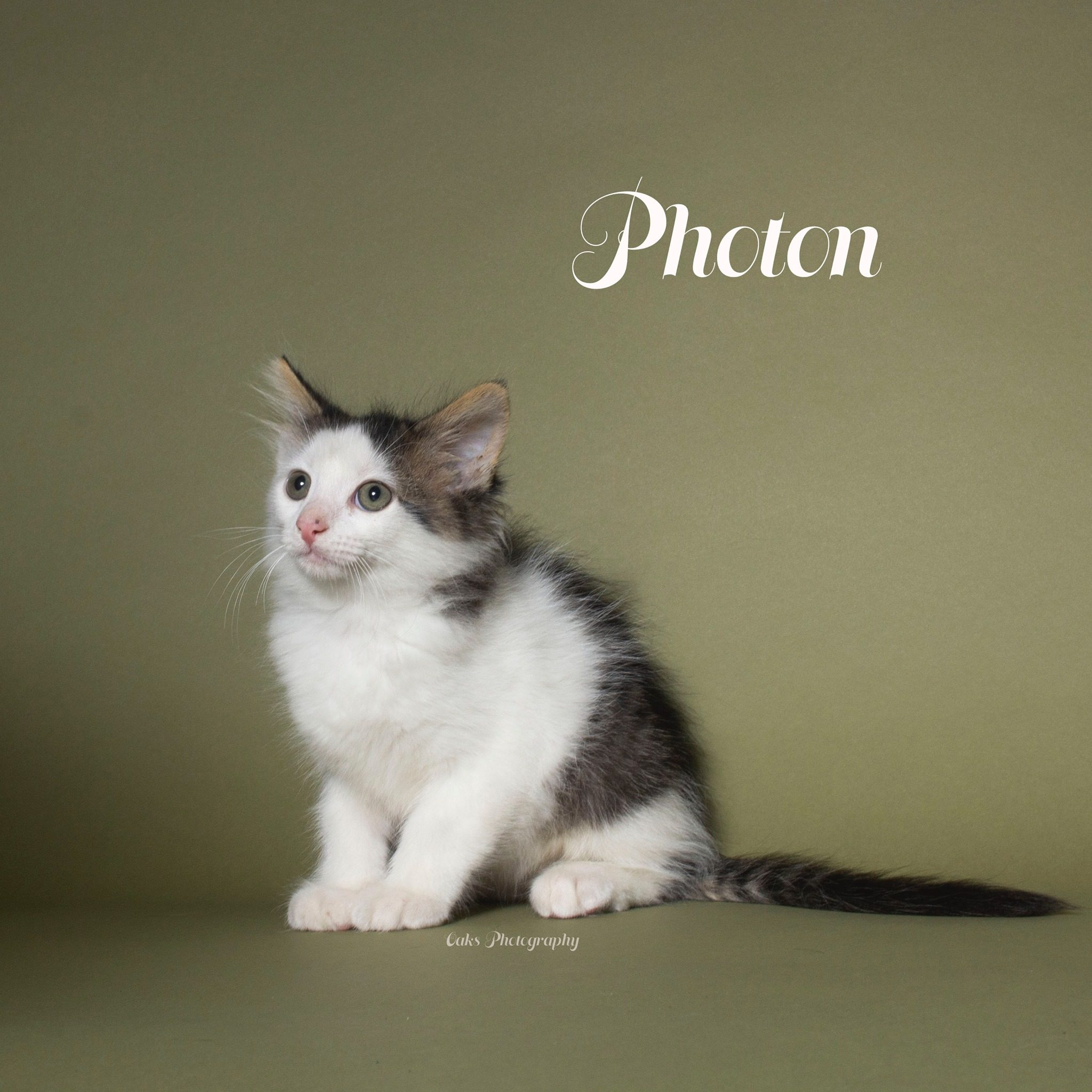 Adopt Photon the cutest cuddly kitty with Foster Army Animal Rescue in Riverside, CA