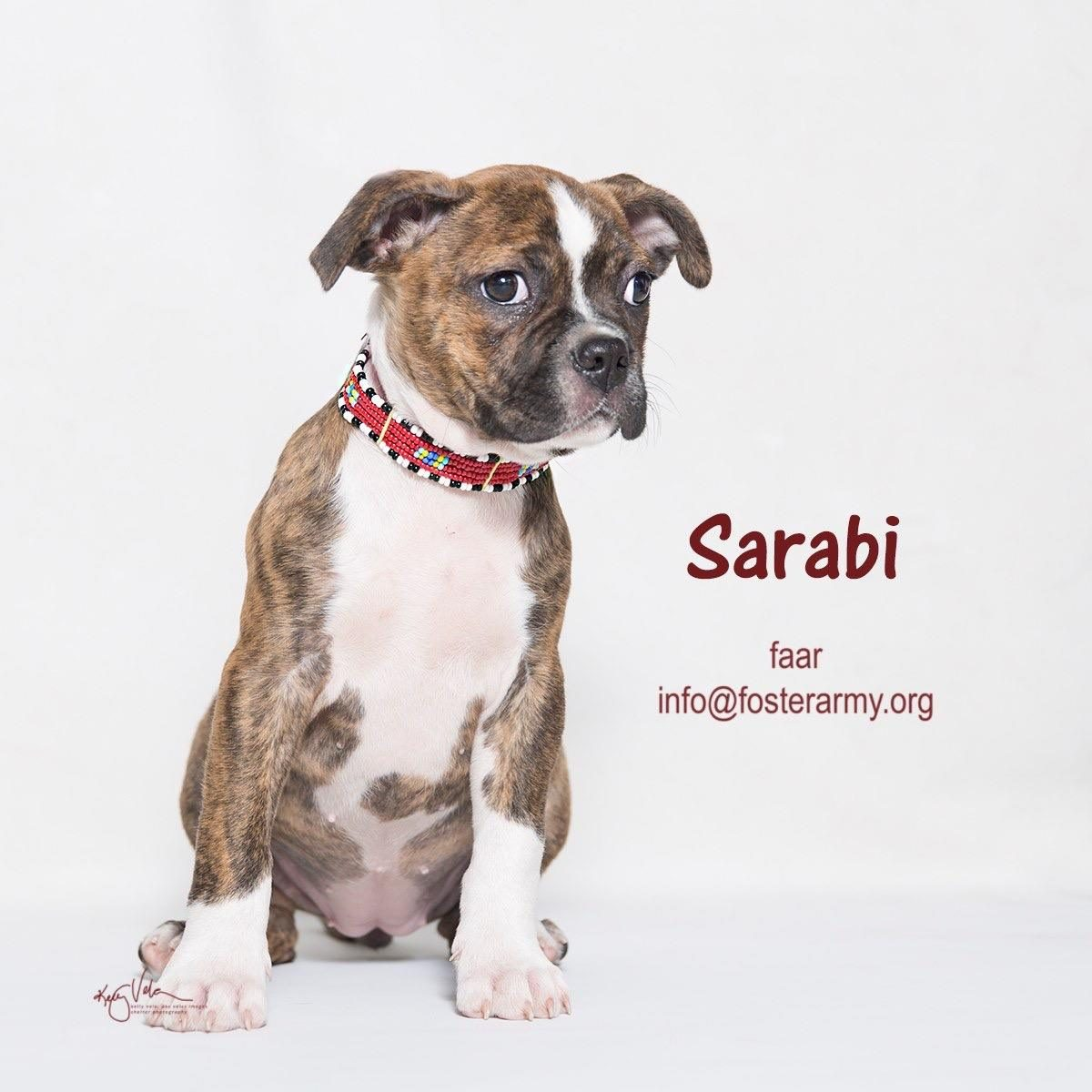 Adopt Sarabi the cutest puppy ever! Riverside, CA with Foster Army Animal Rescue