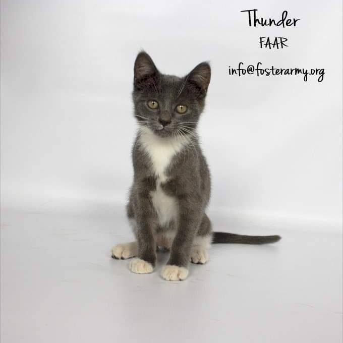 Adopt Thunder the Mighty Kitty with Foster Army Animal Rescue in Riverside, CA