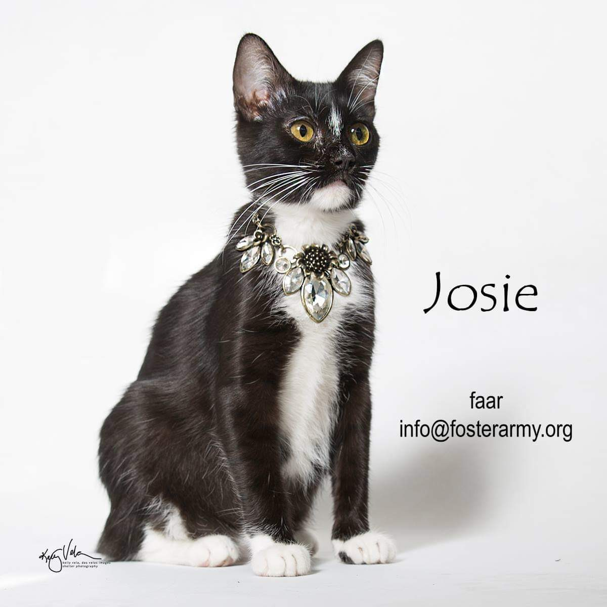 Image: Josie available cat at Foster Army Animal Rescue