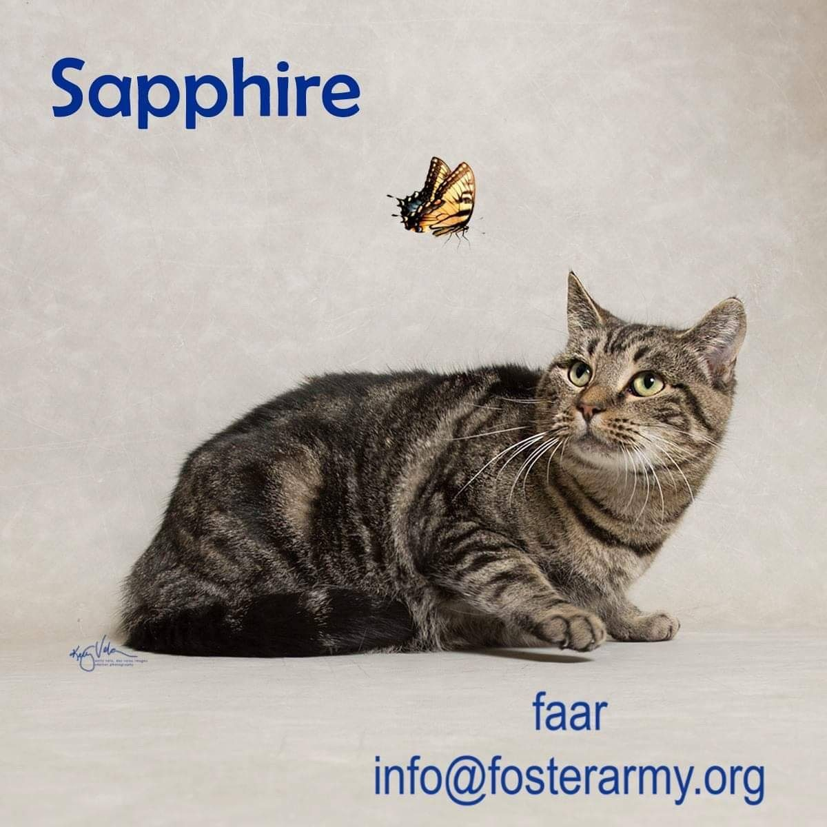 Image: Sapphire available cat at Foster Army Animal Rescue