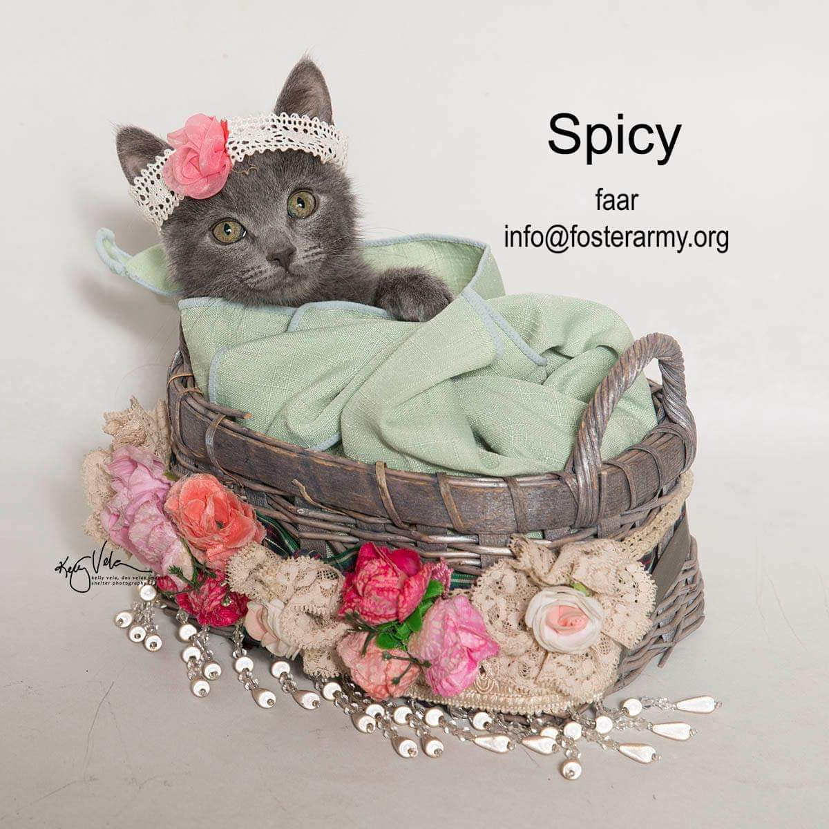 Image: Spicy available cat at Foster Army Animal Rescue
