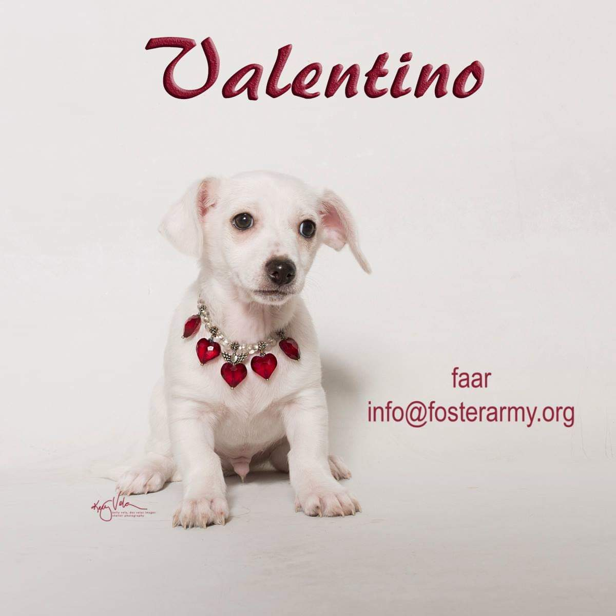 Image: Valentino available dog at Foster Army Animal Rescue